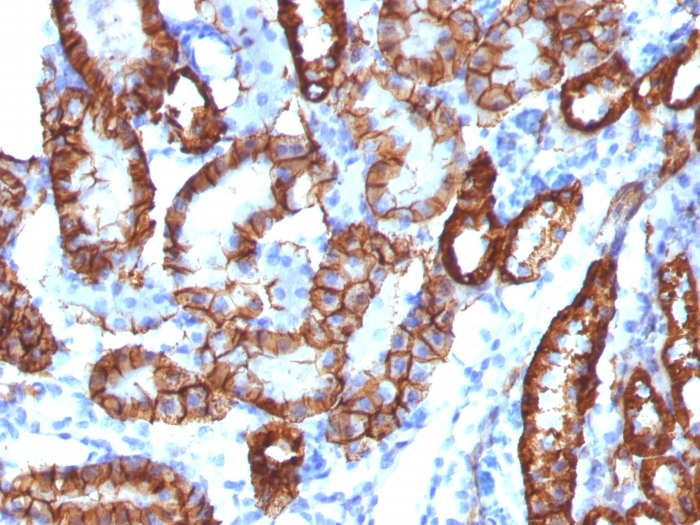 Formalin-fixed, paraffin-embedded Mouse Kidney Stained with   KSP-Cadherin Rabbit Monoclonal Antibody (CDH16/1532R)