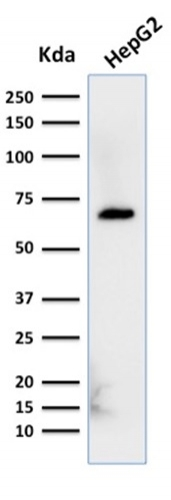 Western Blot Analysis of HepG2 cell lysate using Albumin Mouse Monoclonal Antibody (ALB/2356).